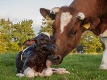 Синхронизация и стимуляция охоты у коров / Ideal pair for stimulation and synchronization of estrus in cows